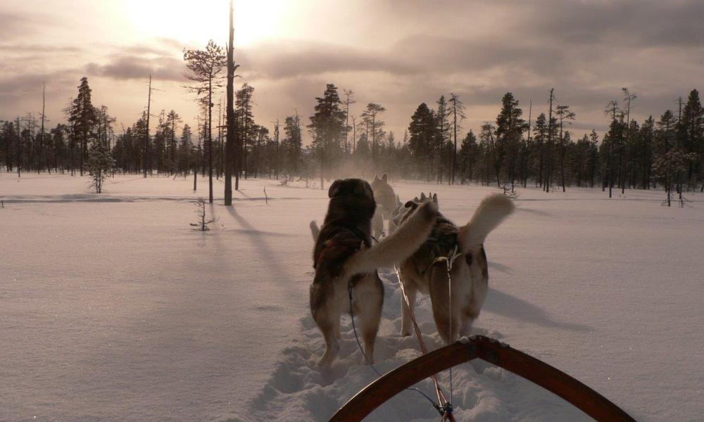 Why a dogsled is pulled by huskies instead of poodles