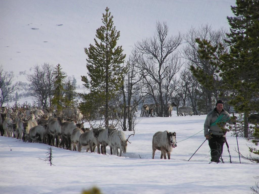 Migrating reindeer: walking the herd to other grounds