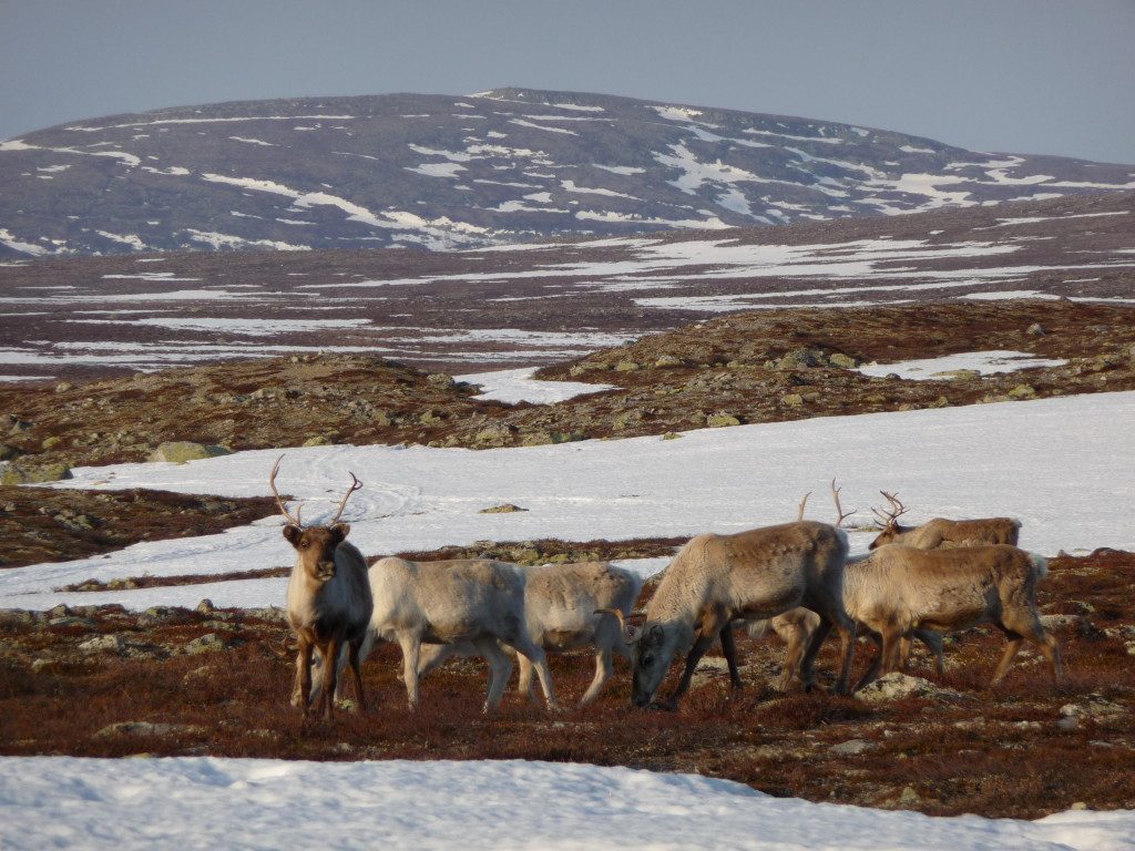 Reindeer standing in the Swedish hills, their calving grounds with the last visible snow