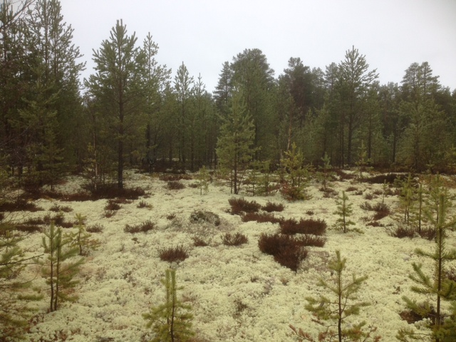 reindeer moss and spruce trees