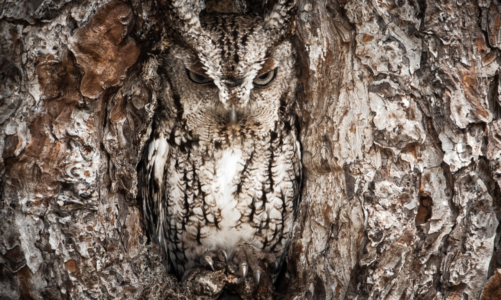 Owls that foretell the future
