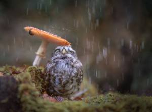 owlet seeking shelter from the rain under a mushroom