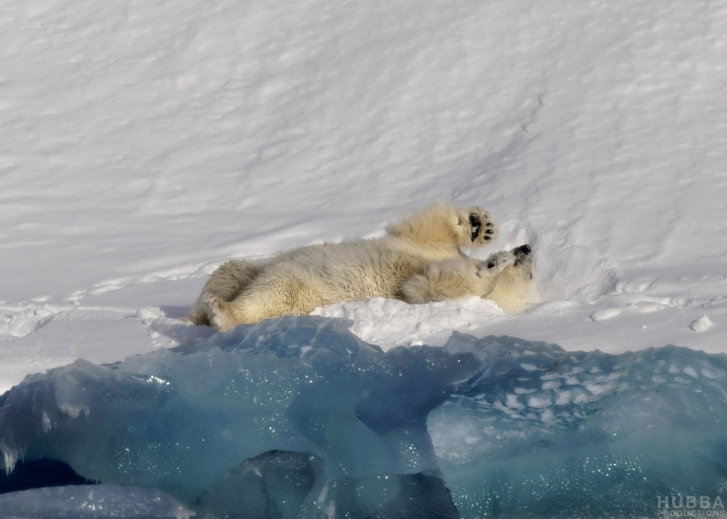 Polar bear rolling on its back, Svalbard. Image credit Fredrik Granath and Melissa Schaefer.