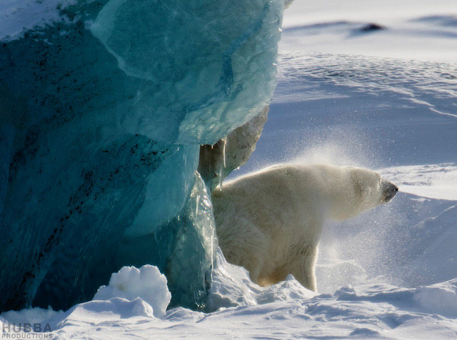 Polar bear shaking off snow, Svalbard. Image credit Fredrik Granath and Melissa Schaefer.