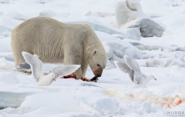 Feeding polar bear and gulls, Svalbard. Image credit Fredrik Granath and Melissa Schaefer.