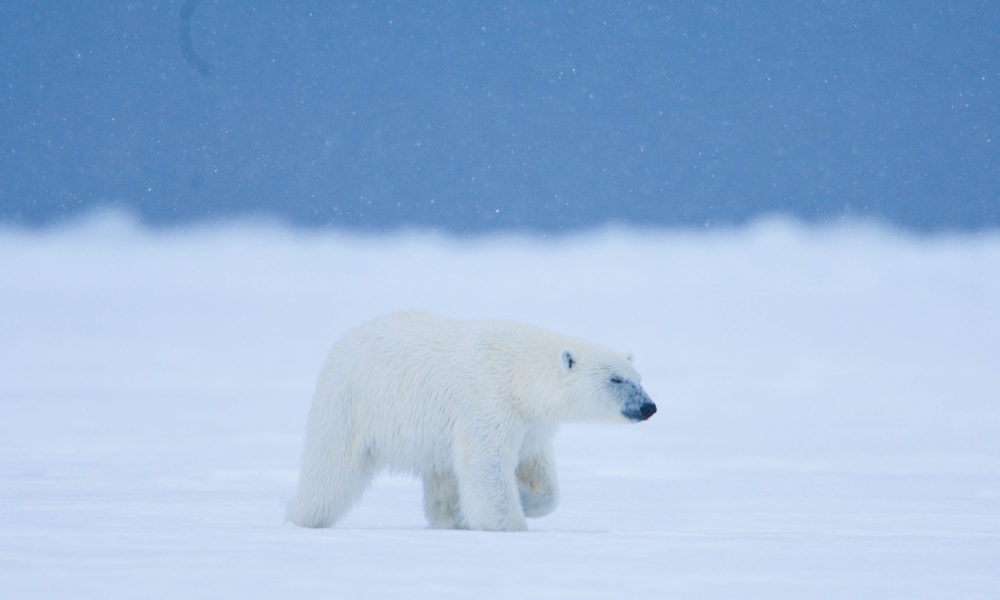 Arctic frame – Svalbard polar bears through a lens