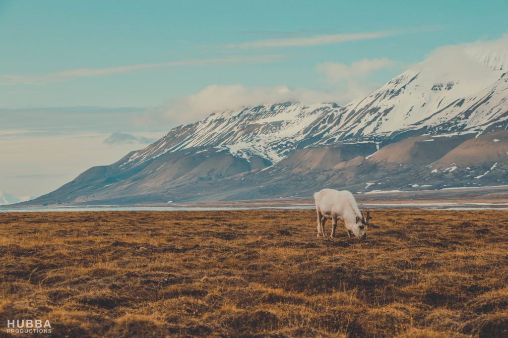 Reindeer grazing at Svalbard. Image credit Fredrik Granath and Melissa Schaefer