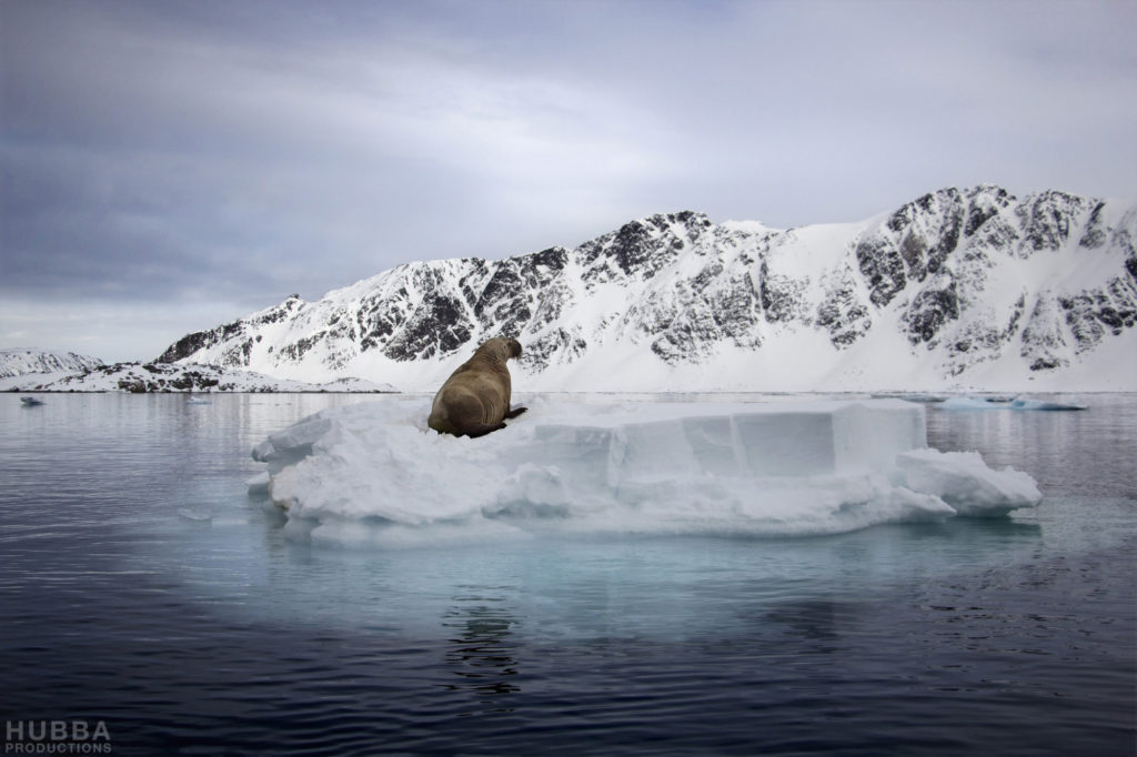 Walrus on floating ice, Svalbard. Image credit Fredrik Granath and Melissa Schaefer.